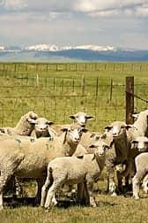 Livestock Farming Increases Asthma, COPD Exacerbations
