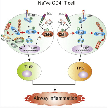 Cbl-b Noted as Potential Target for Treating Allergic Asthma
