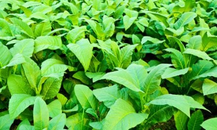 Tobacco Could Potentially Fight Infectious Diseases