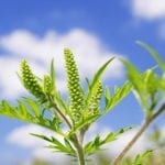 This Therapy Improves Symptoms in Children With Ragweed Allergic Rhinitis