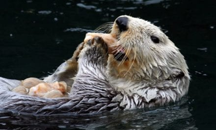 Sea Otters Susceptible to Human H1N1 Flu Virus