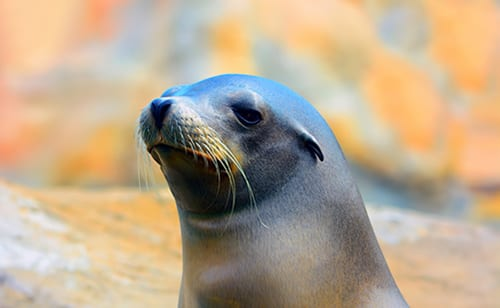 Avian Flu in Seals Could Infect Humans