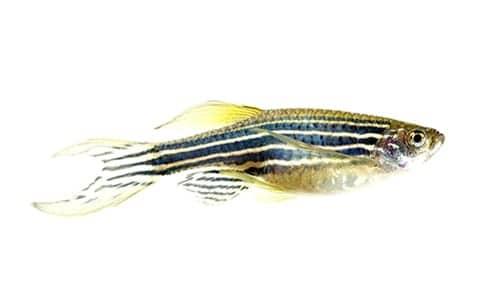 Zebrafish Genes Linked to Human Respiratory Diseases