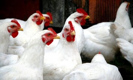 Europe and Asia Scurry to Contain Bird Flu Outbreaks in Poultry