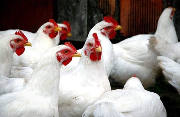 24 More Cases of Avian Influenza in China