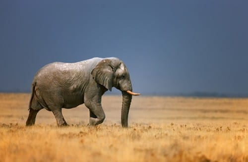 Close Contact between Elephants, Humans Leads to Multispecies TB Outbreak