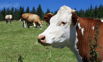 Research on PH in Cattle May Provide Clues for Human Lung Disease