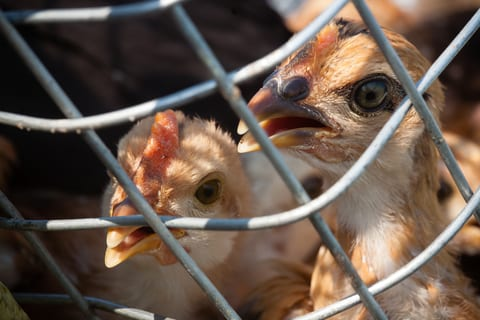 Researchers Create Tool to Predict Avian Flu Outbreaks
