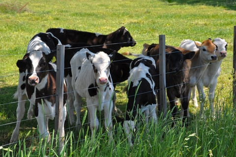 Compound Effective in Calves May Lead to New Treatment for RSV