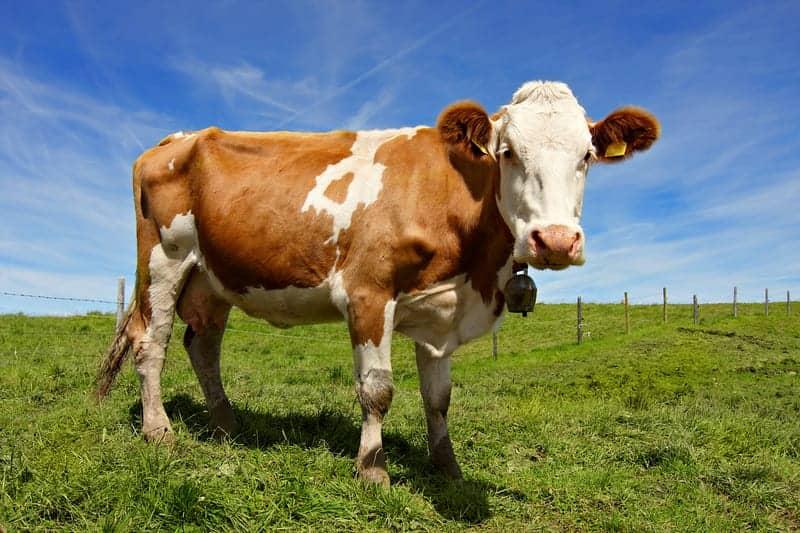 Neutralizing MERS-CoV Through Human Genes in Cows