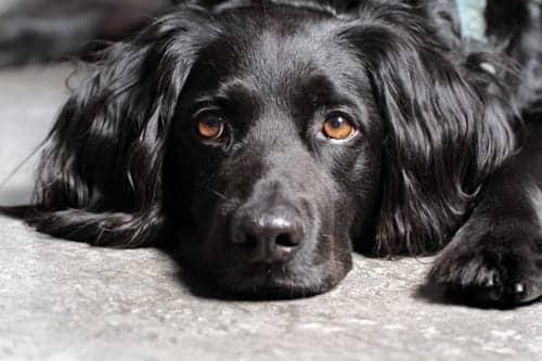 Pulmonary Veno-occlusive Disease Discovered in Dogs