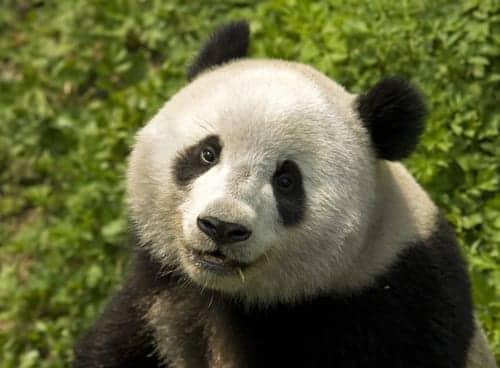 Dräger Incubators Support Atlanta Zoo's New Giant Panda Cubs
