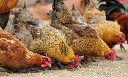 Bird Flu Strain Taking a Toll on Humans