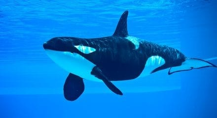 SeaWorld Orca Died from Pneumonia