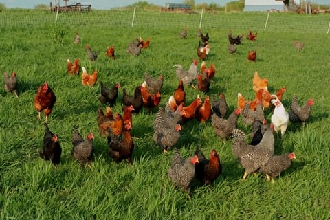 Poultry in England Allowed Outdoors as Anti-Bird Flu Measures Relaxed