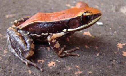 Using Frog Mucus to Fight Influenza