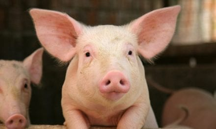 Could Transplant Lungs Soon Come from Pigs?