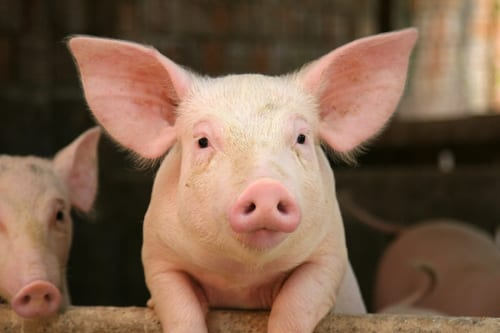 Two People Contract Flu from Pigs at North Dakota State Fair