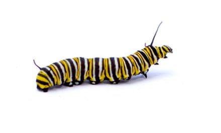 Caterpillar-grown Flu Vax Protects Better than Egg-incubated Vaccine