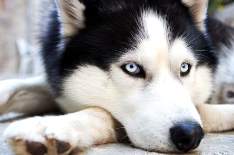 Are Dogs a Potential Source for Future Flu Pandemic?