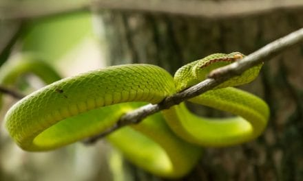 Snake Venom Could Lead to Safer Blood Clot Prevention