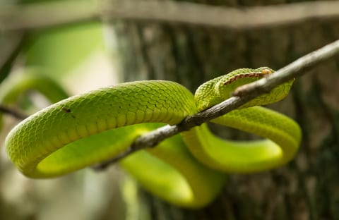 Search for a Snakebite Drug Might Lead to a COVID Treatment, Too