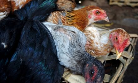 How Live Animal Markets Create a Perfect Storm for Bird Flu