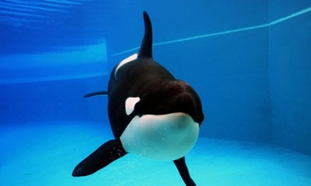 SeaWorld Baby Orca Dies, Likely from Pneumonia