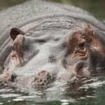 Hippos Help Explain Tanzania Anthrax Outbreaks