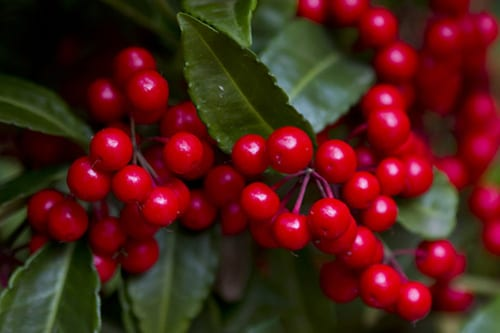 Christmas Berry Extract May Treat Asthma