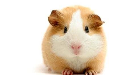 Are Pet Guinea Pigs Spreading Pneumonia?