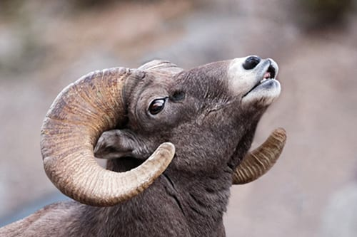 Beware the Coughing Sheep of Zion National Park
