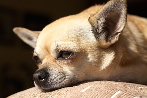 Myth-busting: Chihuahuas Can't Cure Asthma