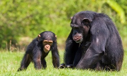 Human Respiratory Viruses Killing Chimpanzees
