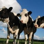 Modified BCG Vaccine Could Prevent Tuberculosis in Cattle