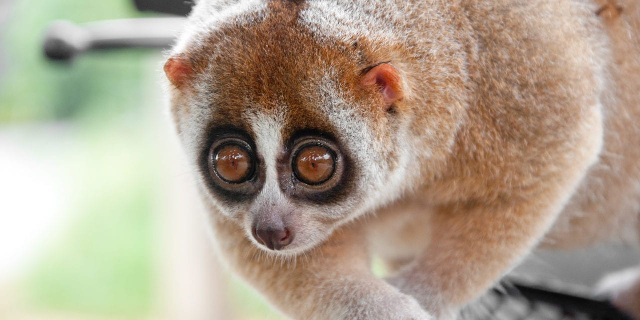 Studying a Venomous Primate to Understand Cat Allergies