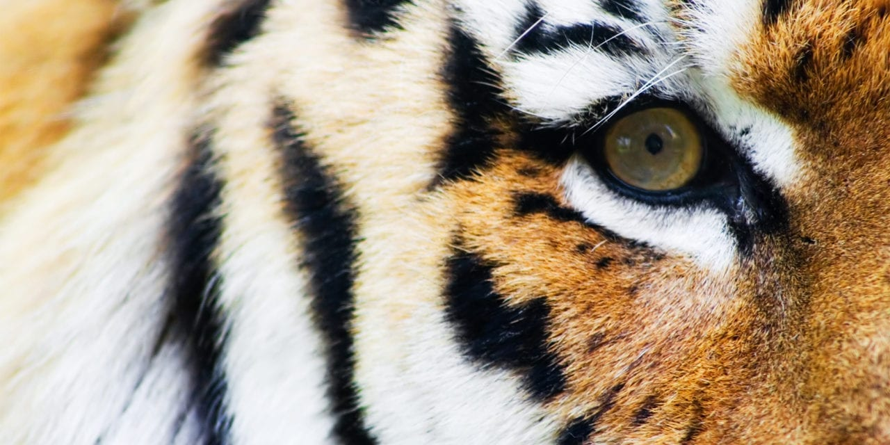 Bronx Zoo Tiger First Known Animal Case of COVID-19