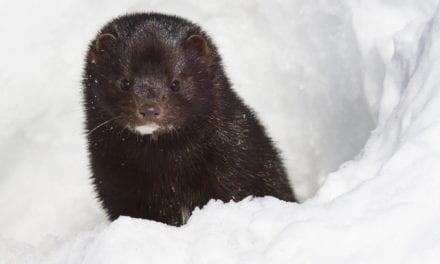 Suspected Mink-to-Human COVID-19 Transmission