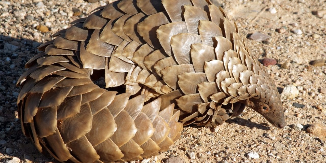 Pangolins Played a Role in Coronavirus Transmission to Humans