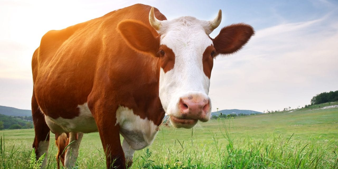Human Antibodies Produced from Cows 4-times More Potent against SARS-CoV-2
