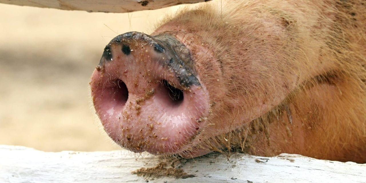 Scientists Warn Flu Detected in Pigs in China Has Human Pandemic Potential