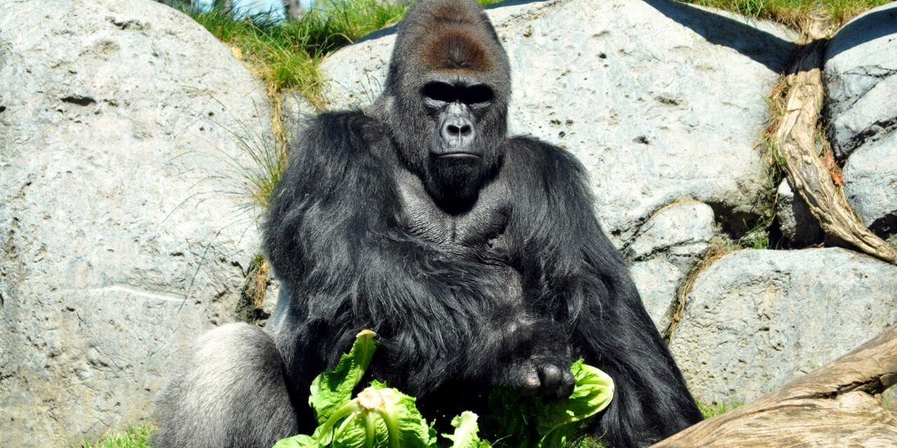 Two Gorillas Test Positive for COVID-19 at San Diego Zoo